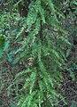 Asparagus scandens creeper SouthAfrica 5.jpg