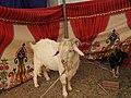 Assam goat-2-praba pet-salem-India.jpg