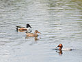 Assorted ducks (shovellers and a pochard) (14379014972).jpg