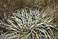 Astelia nivicola in Lewis Pass Scenic Reserve 08.jpg