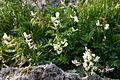 Astragalus australis (Süd-Tragant) IMG 3533.JPG