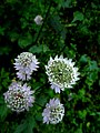 Astrantia major IMG 4753^.jpg