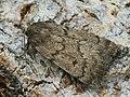 Athetis palustris - Marsh moth - Совка болотная (41117869191).jpg