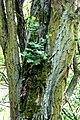 Atlas roslin pl Glistnik jaskółcze ziele 8279 8333.jpg