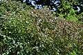 Atlas roslin pl Róża czerwonawa 5243 7785.jpg