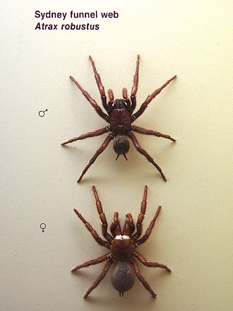 Sydney funnel-web spider - Male (top) and female Atrax robustus
