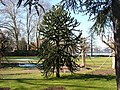 Aurikarie - panoramio.jpg