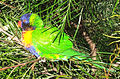 Aus Rainbow Lorikeet cropped.jpg