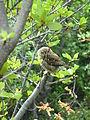 Austral Pygmy Owl Glaucidium nana, Torres del Paine 2.jpg