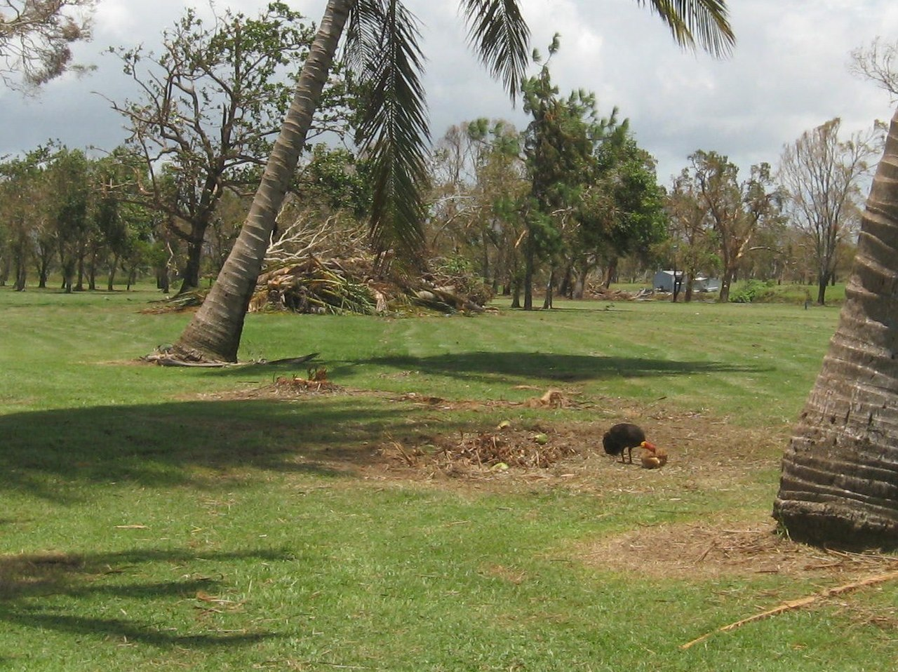 File:Australian Brush Turkey (Alectura lathami) having a feed of coconut. Feb 2011 - panoramio.jpg