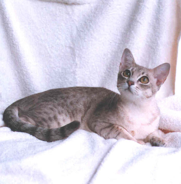 Abcs Of Animal World The Most Beautiful Spotted Breeds Of Cat