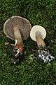 Austroboletus gracilis var. gracilis 258299.jpg