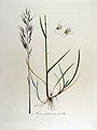 Avena pubescens — Flora Batava — Volume v13.jpg
