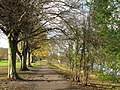 Avenue of trees on the south bank of the River Tyne (2) - geograph.org.uk - 1073550.jpg