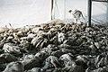 Avian influenza roee shpernik 07.jpg