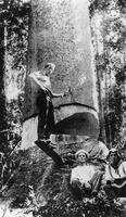 Axeman Hillcoat felling a tree in the Kin Kin district ca. 1915.tiff