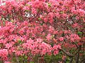 Azaleas on Mount Guifengshan in Macheng City, Huanggang, Hubei 28.jpeg