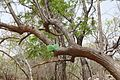 Bénin-Nauclea latifolia (1).jpg