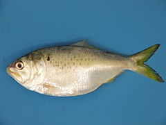 Meet menhaden – before this ecologically critical fish vanishes ...