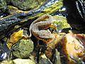 Baby Central Newt (Notophthalmus viridescens louisianensis) - Flickr - GregTheBusker.jpg
