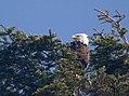 Bald Eagle - Olympic National Forest - September 2017.jpg