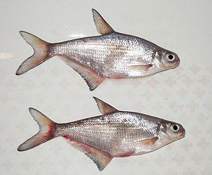 Viel Fisch Englisch