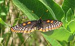 Baltimore Checkerspot 2.jpg