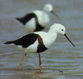 Banded Stilts.png