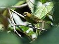 Bangsia flavovirens - Yellow-green Tanager 1.jpg