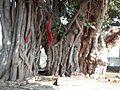 Banyan Tree -2 (Shiv Bajrang Dham Kishunpur,Kanpur Dehat ).jpg