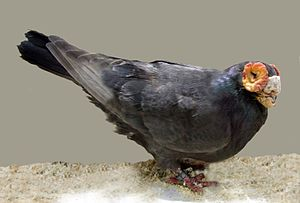 Barb pigeon - Black Self Barb Pigeon