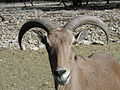 Barbary Sheep (animal).jpg