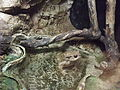 Barcelona-Zoo-Sapo común (Bufo bufo).jpg