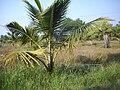 Barkur coconut plantation irrigation.JPG