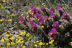 Barrel cactus and Mexican golden poppy.jpg