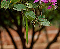 Bauhinia purpurea (Kaniar) in Hyderabad, AP W IMG 2576.jpg