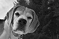 Beagle S&W.jpg