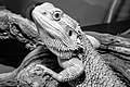 Bearded Dragon (43854662).jpeg