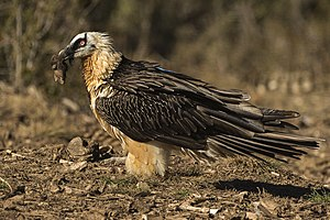 Old World vulture - Image: Bearded Vulture with bone Catalan Pyrenees Spain