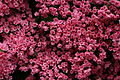 Beautiful-pink-spring-flowers - West Virginia - ForestWander.jpg