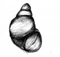 Beddomeia fultoni sketch.png