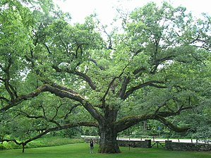 Bedford (town), New York - Bedford Oak, July 2012