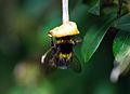 Bee (2649731401).jpg