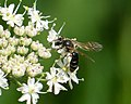 Bee on Hogweed. Female Andrena cf dorsata (34804567393).jpg