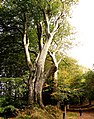 Beech Tree - panoramio (2).jpg
