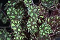 Begonia (16).jpg