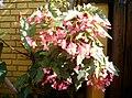 Begonia - panoramio.jpg