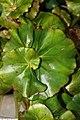 Begonia Erythrophylla Helix 2zz.jpg