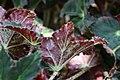 Begonia masoniana 2zz.jpg