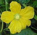 Benincasa hispida- male flower.jpg